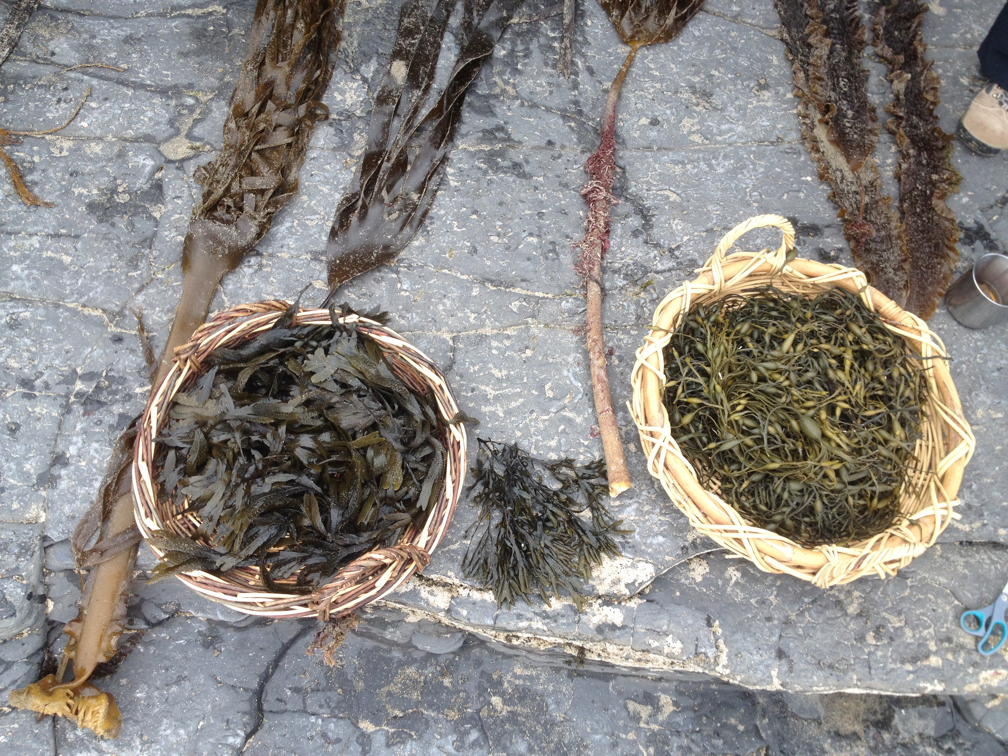 Recap on seaweeds -some torn off rocks and washed up in storm
